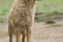 Hungarian Dog Breeds (Magyar Kutyak)