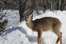 Cottage Country Wildlife / Get out into Cottage Country and get up close and personal with our wonderful wildlife