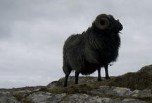 Sheep breeds of Uist Wool