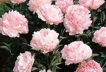 Pink Blooms / Flowers