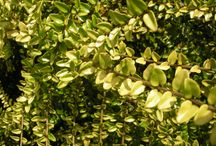 LONICERA / Varieties and Colours