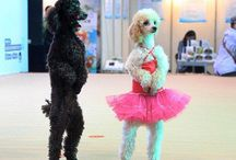 Poodle & Dove Show / We offer a unique party experience together with trained poodles and doves! They do tricks, they interact with you and they take pictures with you, all in the comfort of your home or party place! Your children will be amazed! We service Toronto and it's surrounding cities.