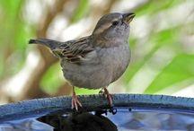Birds: Sparrows