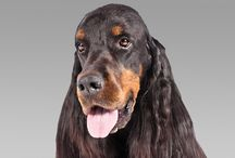 Gordon Setter / Gordon Setters are the largest and most substantial of setters—a big male might stand 27 inches at the shoulder and weigh 80 pounds. The stunning coat is a glistening black, with tan markings and long hair on the ears, belly, legs, chest, and tail. Tan spots above the bright brown eyes point up a wise and willing expression. Like other Scots breeds, Gordon Setters were built to withstand their homeland's tough terrain and foul weather.