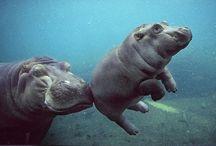 Animals / Hippos