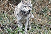 Wolf recovery / Recovery of the Gray Wolf, Mexican Wolf and Red Wolf in the USA and the Americas