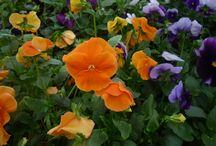 kerti dísznövények / növények, virágok