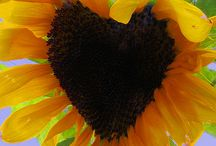 Sunflowers / by Kathy Moreaux