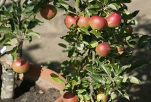 Gardening Fruit trees