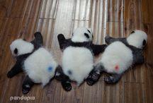 Djur och husdjur / Små pandor