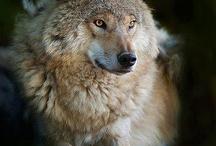 wolfie/ pets/ animal