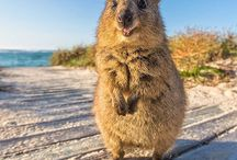 Quokka / Quokkas are the most adorable animals ❤️❤️