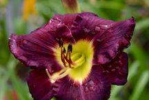 Daylilies / some of the daylilies we sell at our nursery