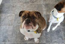 Peppa The Bulldog