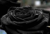 Roses ♥❤