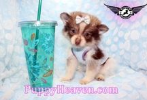 Available puppies in Los Angeles