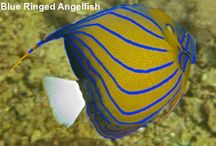Saltwater Angelfishes / Saltwater angelfish belong with the Pomacanthidae fish family. They are brightly coloured discus shaped fish which mostly inhabit shallow warm-water coral reefs. Angelfish are characterised by their vivid coloring, large pectoral fins, and long flailing dorsal fin.