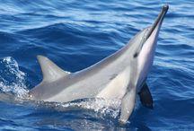 Delfín nadando