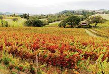 Mendocino vineyards. / Vineyards in Mendocino county.