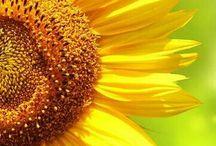 Solrosor / Sunflower
