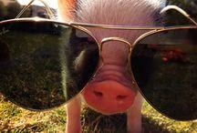 teacup pig ♥ :3