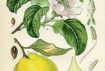 Botanical illustrations / Mostly vintage botanical illustrations