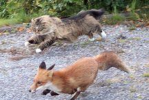 Chat De La Forêt Norvégienne