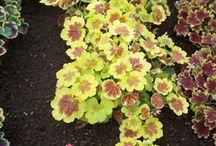 pelargonier,fancy foliage