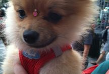 Pomeranians on Parade / I am besotted with Pomeranians--both my own and pretty much every other one I meet.