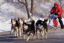 Huskies / wolves
