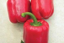 Pepper Seeds / Greenhouse Pepper Seeds