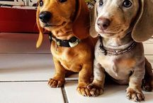 Dogs~Sausagedogs / my fav puppies :)