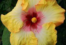 Flowers - Hibiscus / by Sue Vanden Berge