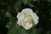 çiçekler / çiçek fotoğrafları