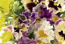Mauve/Piurple flowers