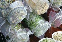 grãos germinados