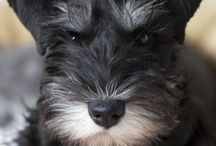 Cute animals / Mainly schnauzers