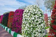 сад цветы петуния
