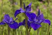 Iris sibirica / All the different Siberian irises that we have at Binny Plants this year