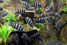 frontosa fish