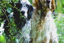 Noble souls / The English setter