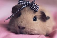 Guinea pig ♡