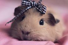 Guinea pigs❤ / ♡guinea pigs♡