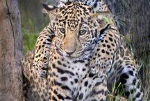 Jaguar ❤