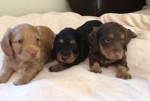 Want one? Cutest puppies ever! / by Jamie Burlew