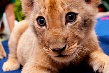 Busch Gardens - New Lion Cubs