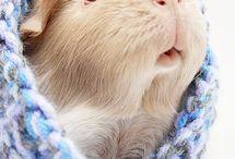 Guinea Pigs / guinea pigs / by Emma's Pet Portraits