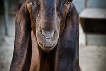 Lil Goat Gruffness / Delighfully Funny Goats