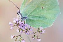Butterflies so beautiful and delicate..... / Allemaal vlinders..