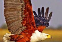 Păsări rapitoare